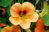 Kapuzinerkresse Turntium Essbar Blumen Gärten Gärtne