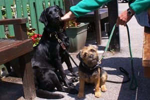 Google Image Result for http://www.thecastleinn-lulworthcove.co.uk/images/dogs/1564_sky_the_labrador_and_sage_the_border_terrier_thumb.jpg