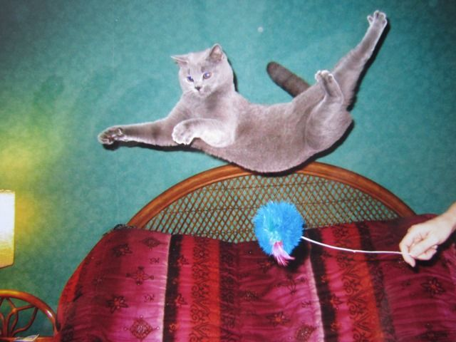 A Flying Ballet Grey Cats Cats And Kittens Russian Blue