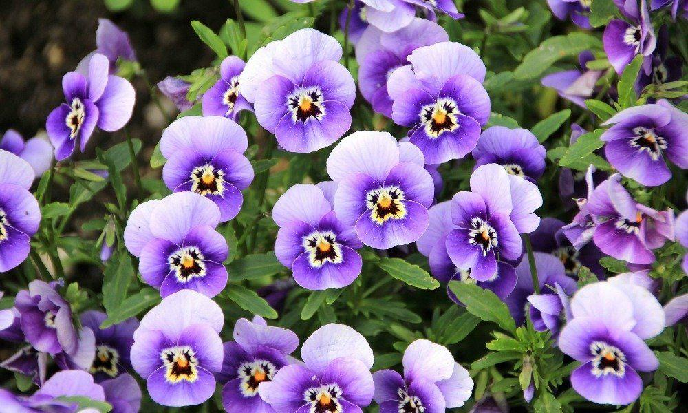 Mamaslatinas Com Coloca Una Planta De Violeta Orientada Al Sur De Tu Dormitorio Y Atraerás El Amor E Types Of Purple Flowers Pansies Flowers Types Of Flowers