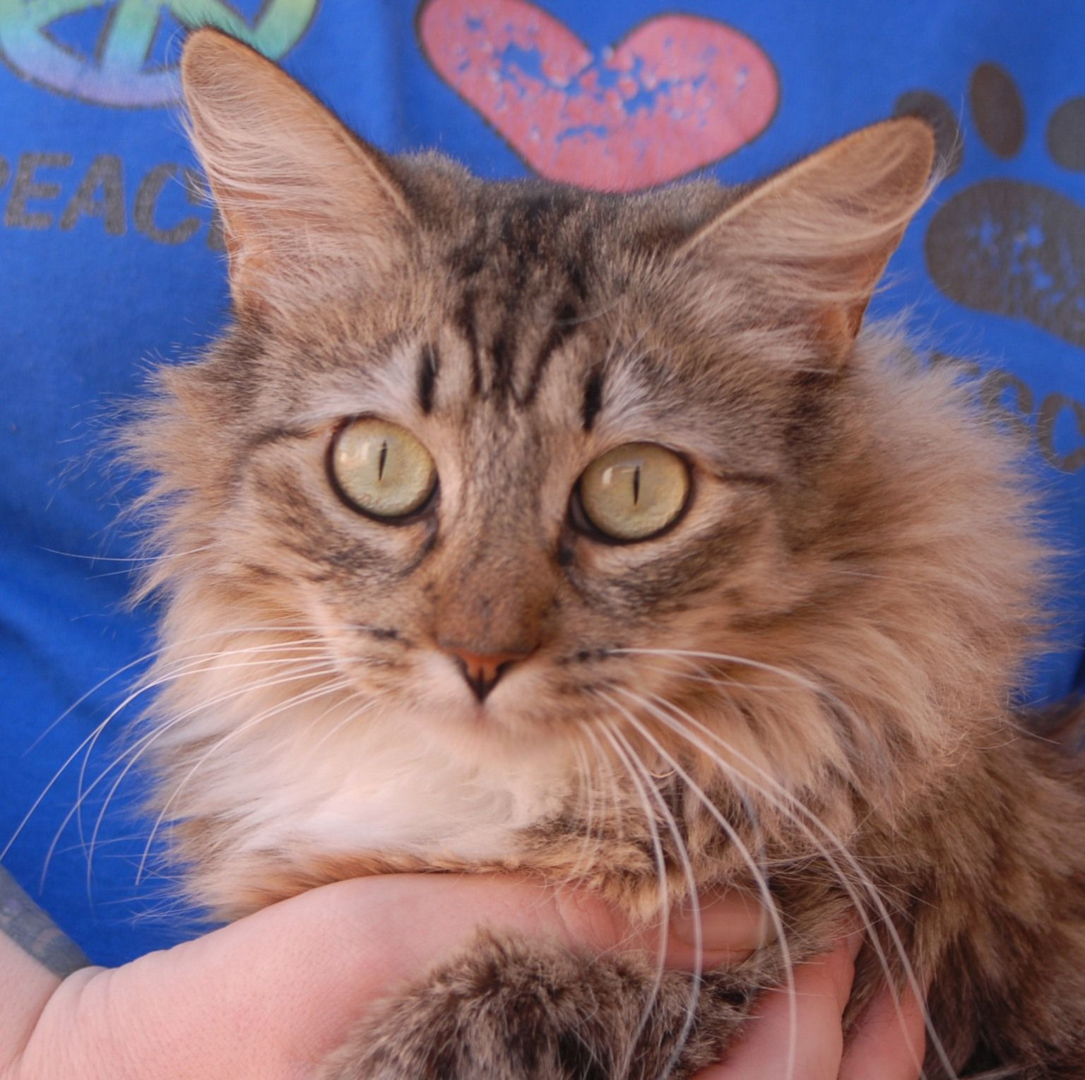 Dandelion, a young Maine Coon mix with a beautiful spirit