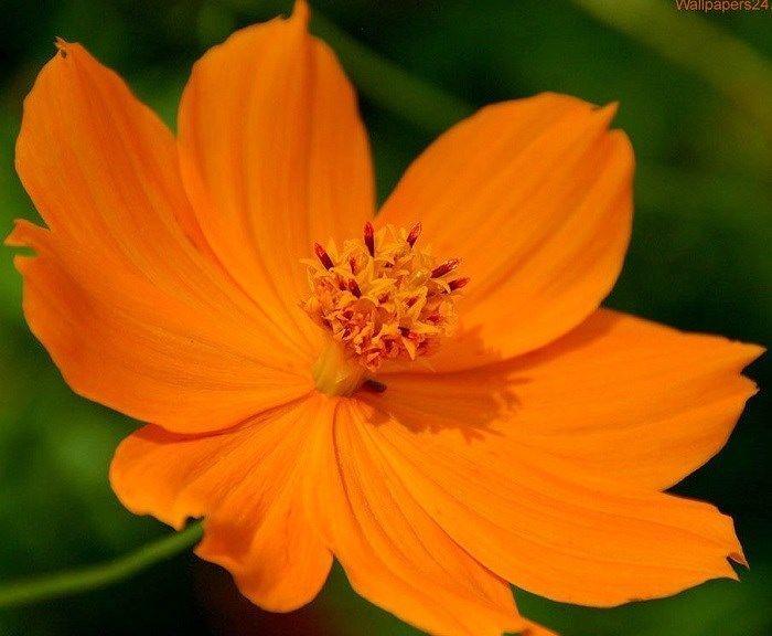 35 Cosmos Cosmic Orange Flower Seeds Drought Tolerant Orange Flowers Orchid Seeds Best Flower Wallpaper