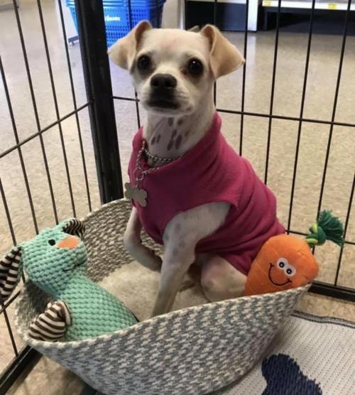 This cutie needs a home. Pug / Chihuahua / Mixed (short