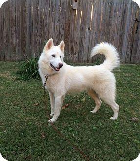 11/2/15 Willingboro, NJ - Samoyed Mix. Meet Ghost, a dog for adoption. http://www.adoptapet.com/pet/14230001-willingboro-new-jersey-samoyed-mix