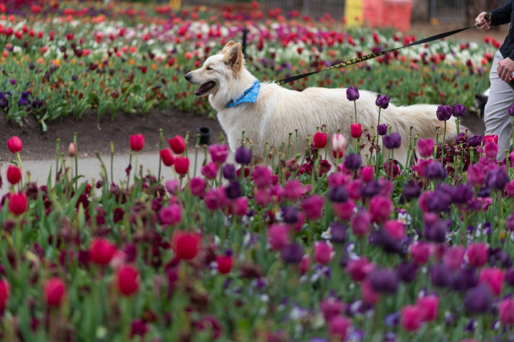 Dogs Day Out Floriade 2019 October 13 Australian Dog Lover Floriade Floriadedogsdayout Dogsandtulips Canberra Visitcan Dogs Day Out Dog Lovers Dogs