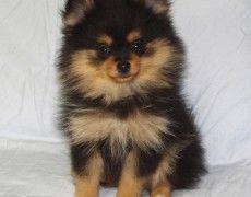 Pomchi Pomeranian Chihuahua Mix Info Temperament Puppies