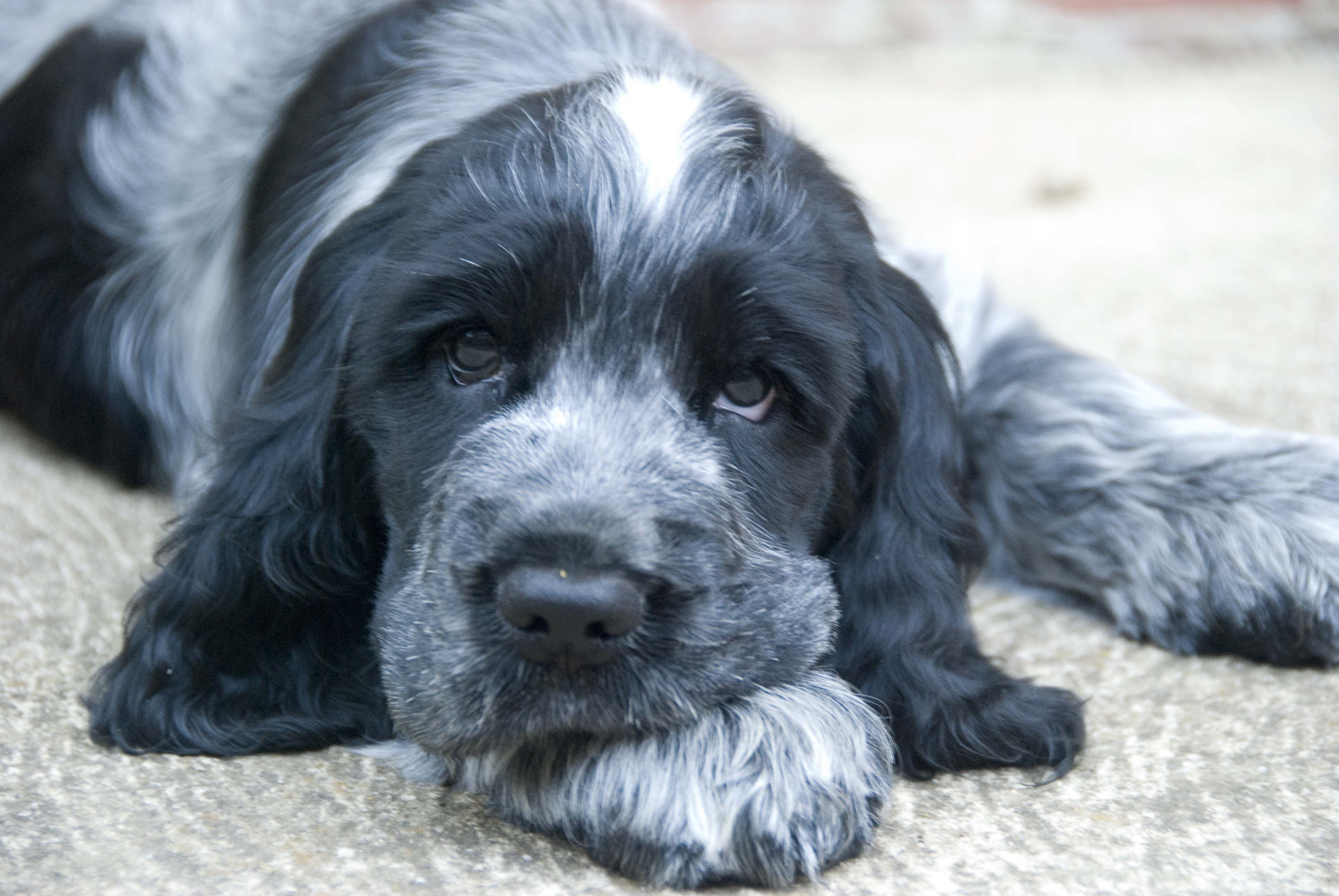 Another Of Sergeant Our Blue Roan English Cocker Spaniel As A Young Pup He Got A Bit Beefier Since He Was Desexed B Dogs Cocker Spaniel Spaniel Puppies