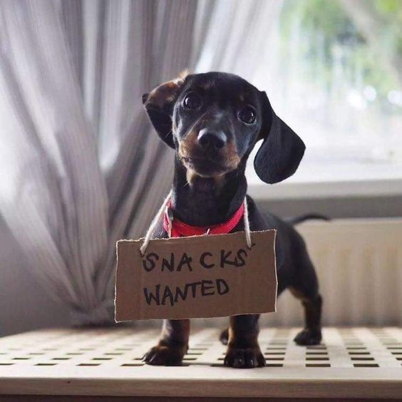 15 Things Every New Puppy Parent Must Have Dachshund