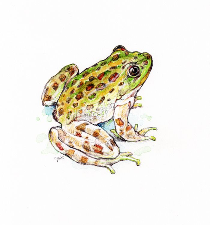 'chiricahua leopard frog' by Gary Krejca - Illustration from United States