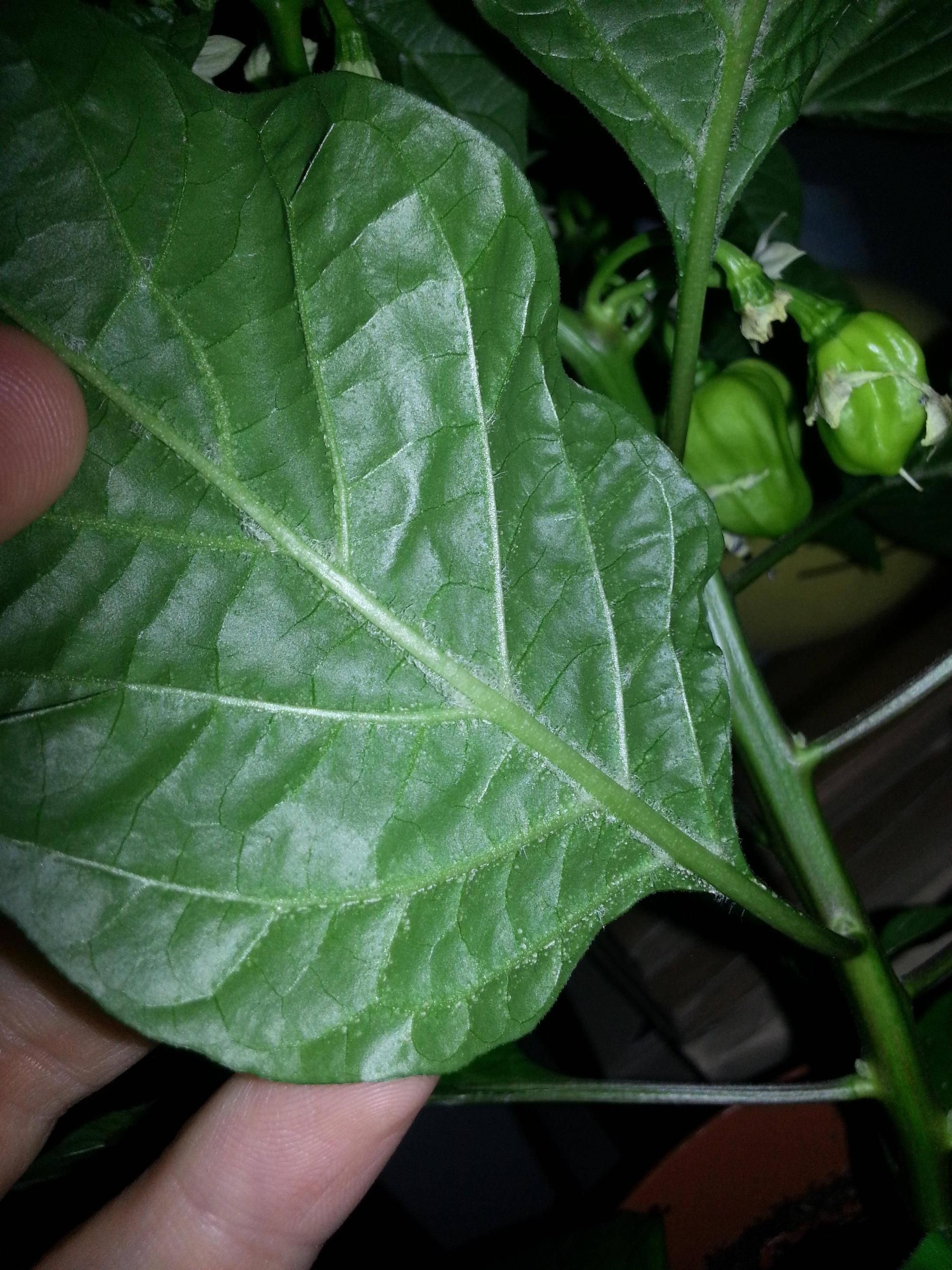White Spots On Pepper Plant Leaves Make Sure To Visit Gardenanswers And Our Free Idenfication