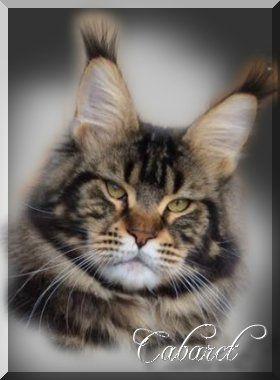 Kitten Amerikanische Waldkatze Katzen Katzenbabys