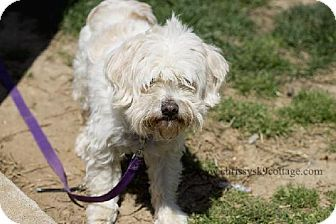 Pin By Diane Litter On Dreaming Of Puppies Pets Maltese Poodle Kitten Adoption