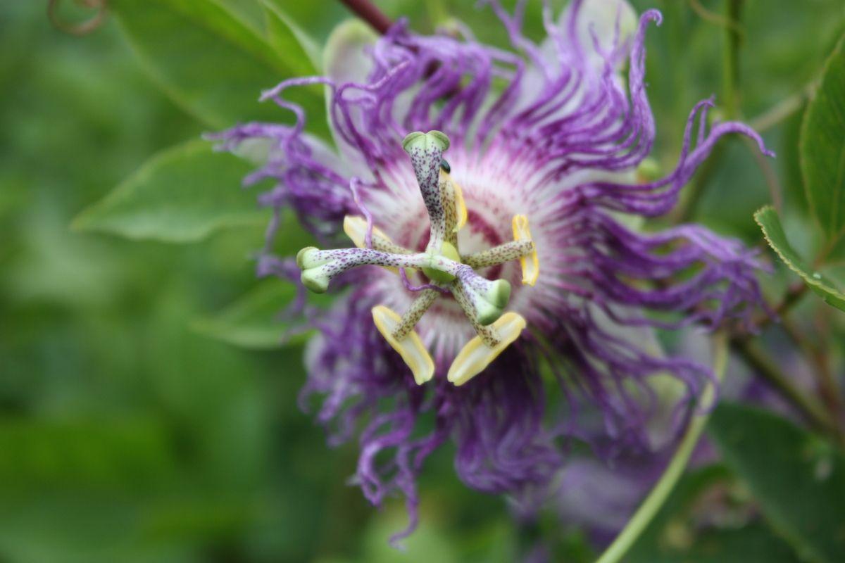 Passionsfrucht Eia Popeia®: Winterhart bis -20°C