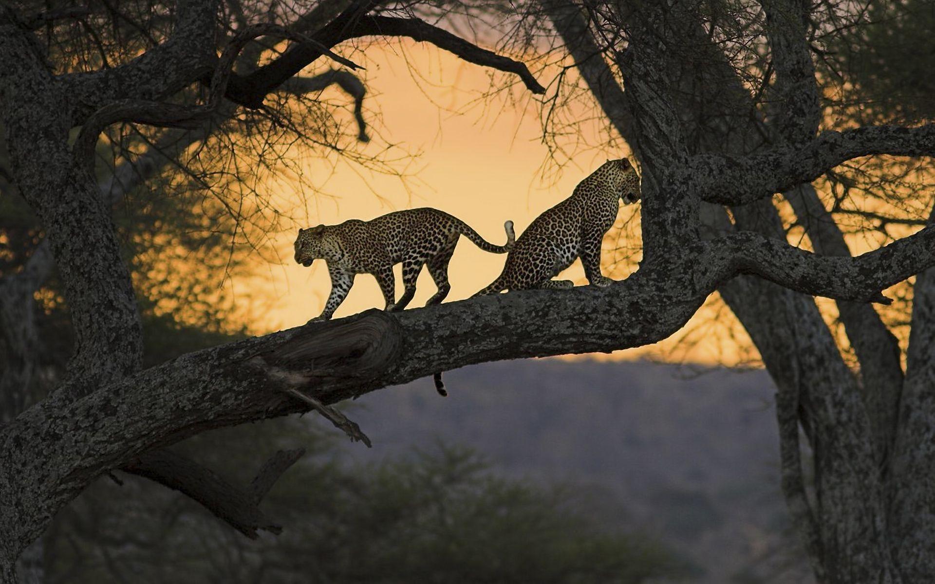 Leopardos (Panthera Pardus)  sobre una rama al atardecer en Kenia.