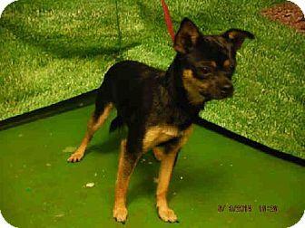 Ocala, FL - Chihuahua/Pug Mix  Meet *TYKE, a dog for