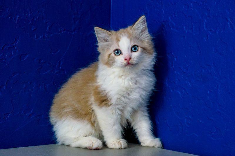Ragdoll Kittens For Sale Near Me Ragamuffin Kittens Ragdoll Kittens For Sale Kitten For Sale