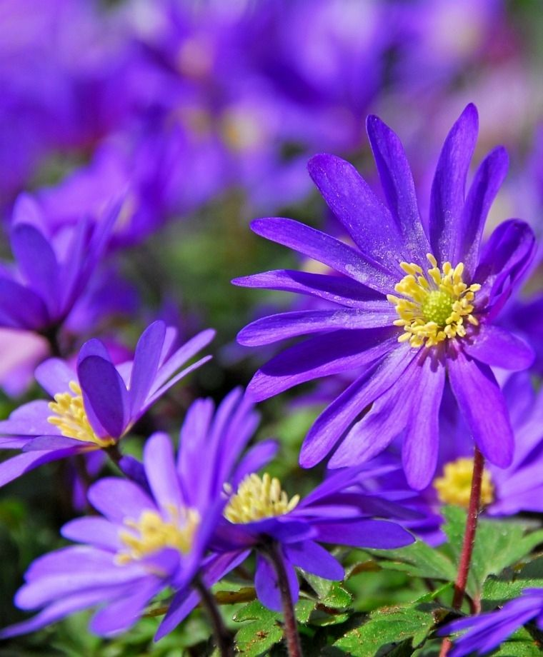 Anemone Blanda Blue Shades Anemone Blanda Flower Bulb Index Bulb Flowers Spring Flowering Bulbs Anemone