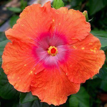 Hibiscus Flower Classification Hibiscus Hibiscus Hibiscus