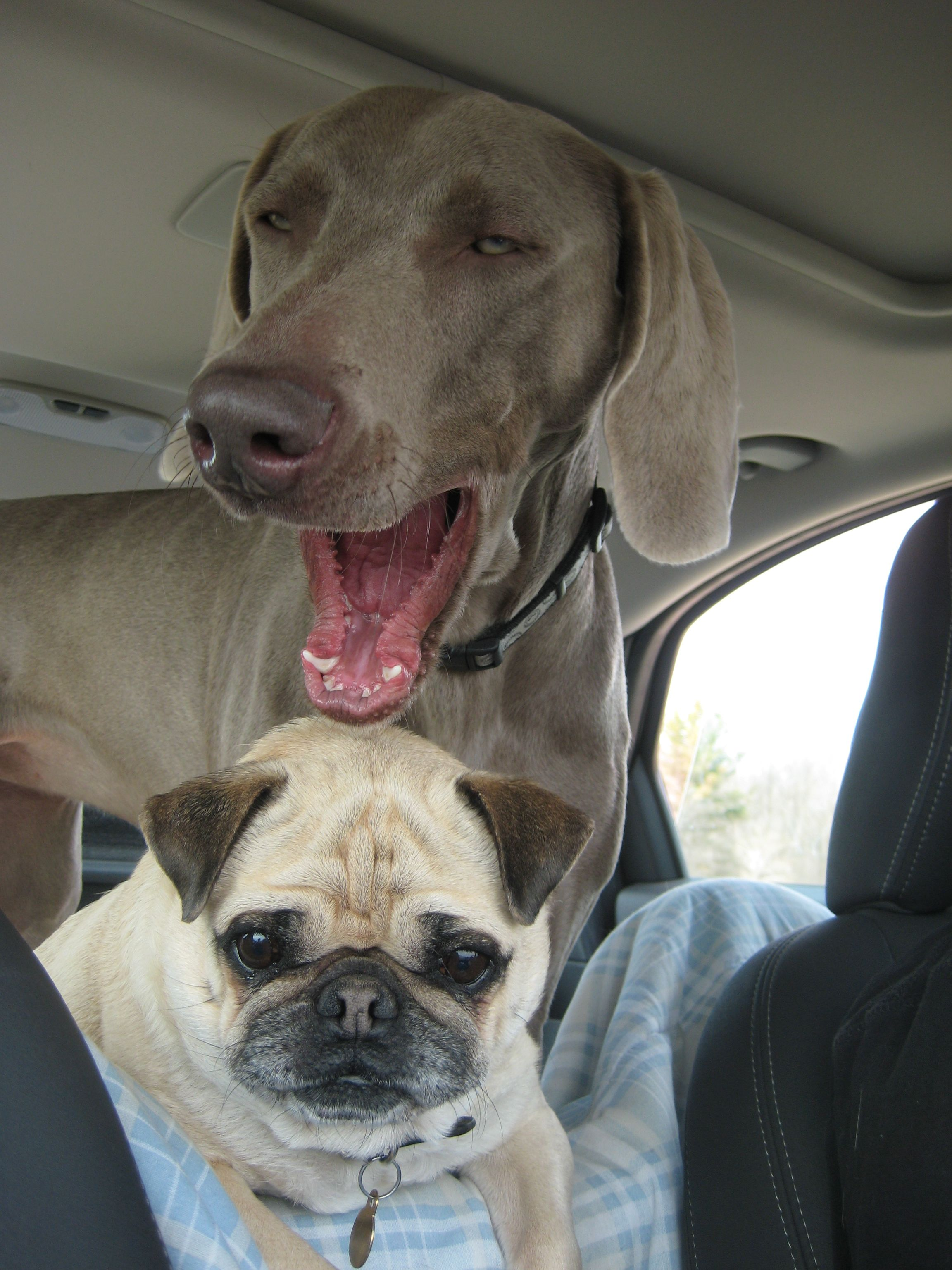 pug + weimaraner yawn. apparently they are contagious.