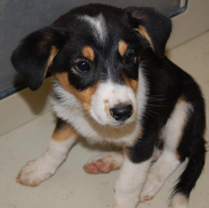 3 4 Petango Com Meet Buttercup A Border Collie Mix Available For Adoption In Socorro Nm Contact Information Animal Activism Border Collie Dog Adoption