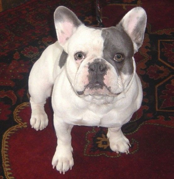 Blue Pied French Bulldog With Images Cute French Bulldog Pied