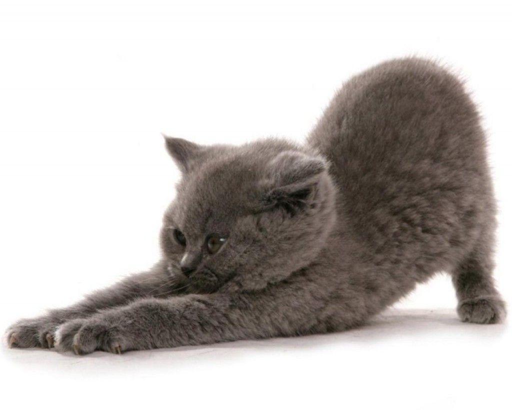 8 Reasons to Get a Russian Blue Cat Mi gatito