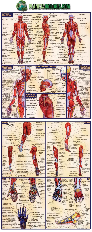 Atlas com os principais músculos do corpo humano | cuerpo humano ...