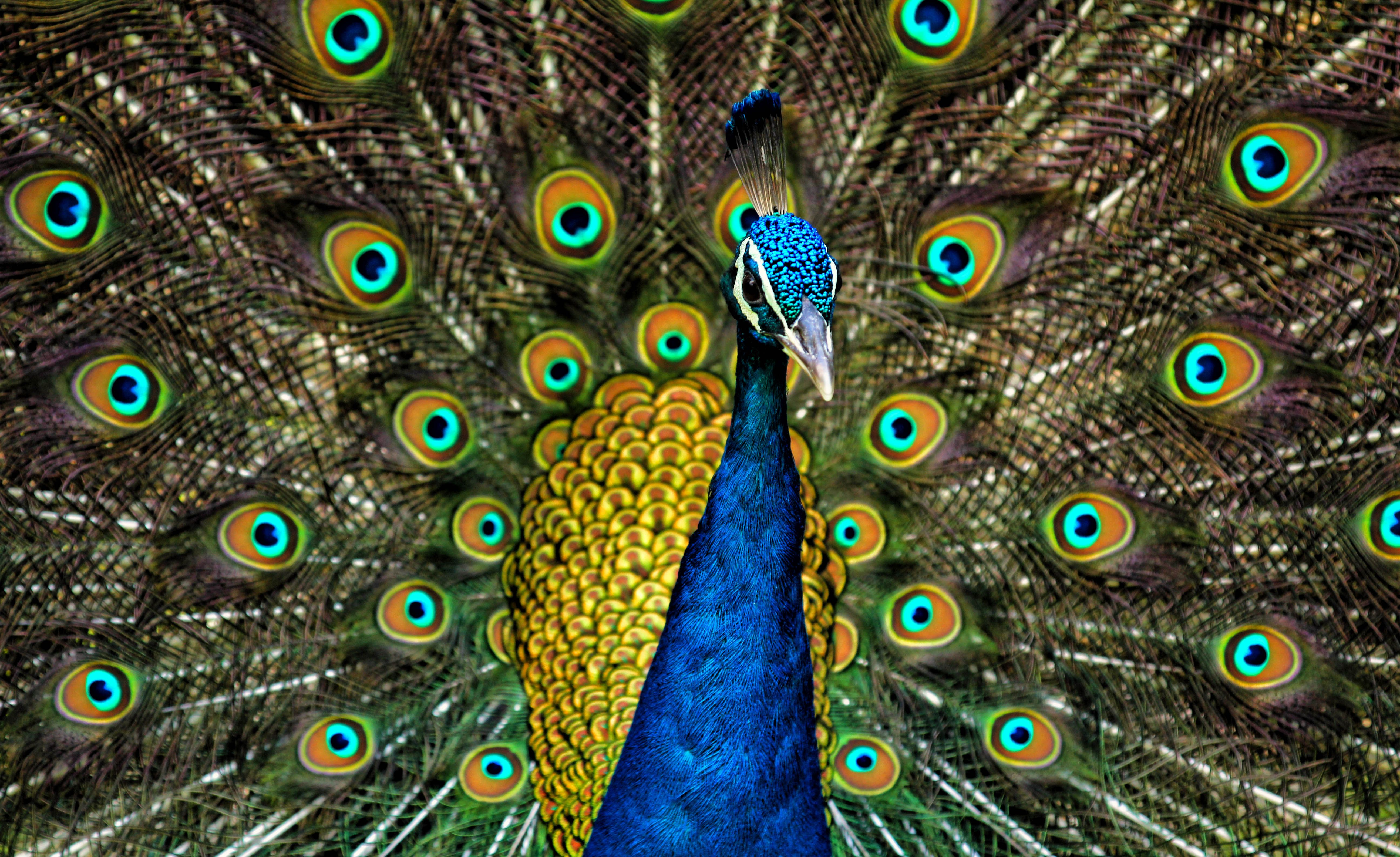 Everything You Need to Know About Pet Peacocks Indian