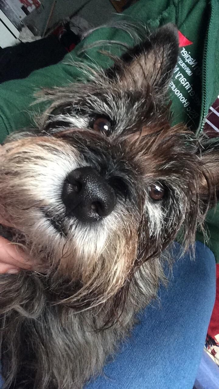My Little Cairn Terrier Dogpictures Dogs Aww Cuteanimals