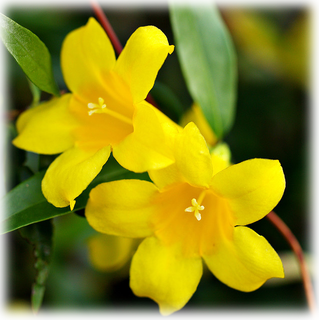 Flower Yellow Jasmine Flower Meaning Grace And Elegance Flower Meanings Jasmine Flower Flowers