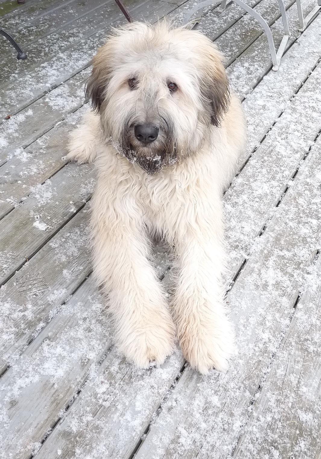 Bouvier Schafpudel Mix Grimaldi Welpe Animals Dogs Bouvier