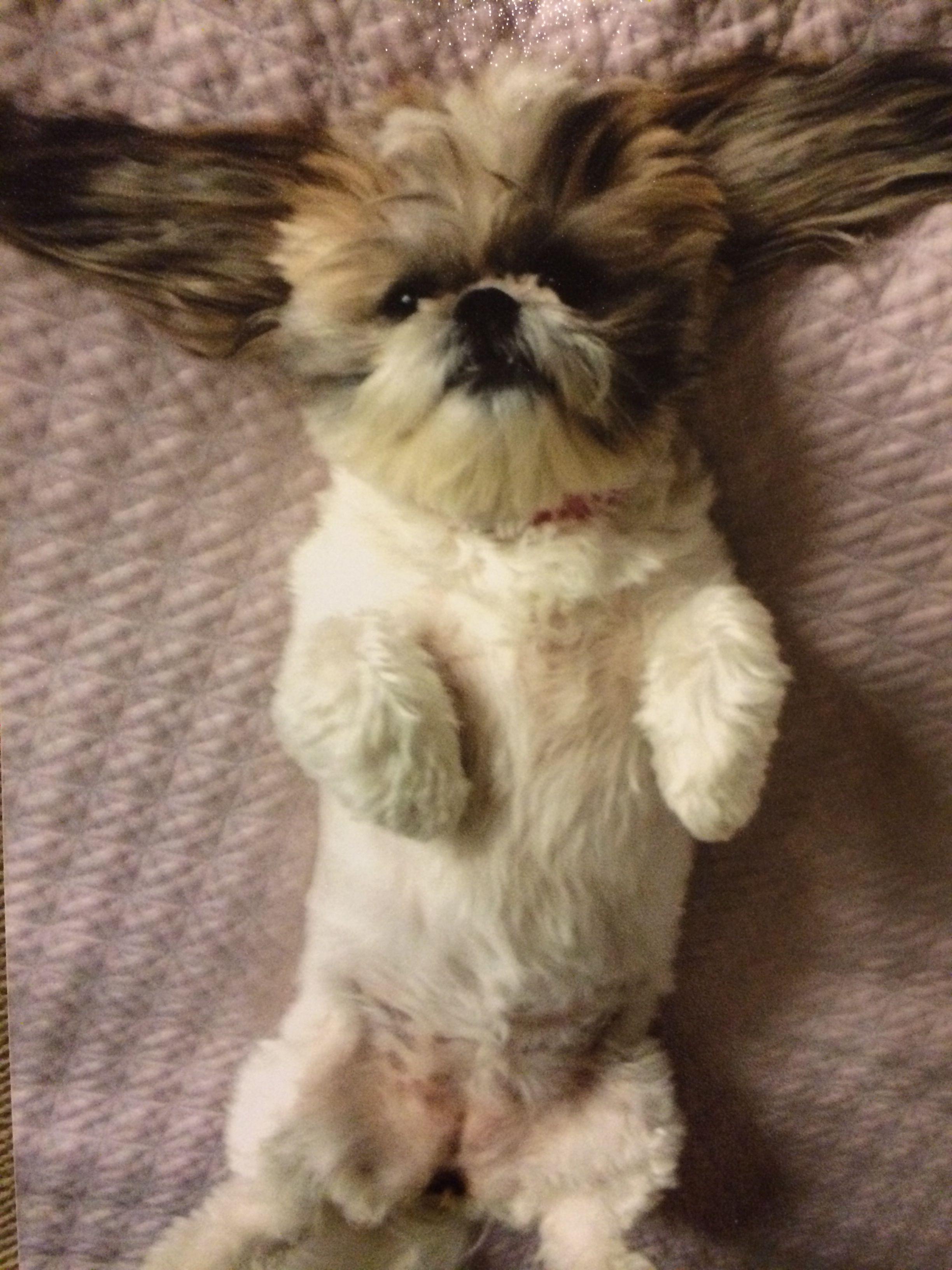 Oh Finja. Belly rub? Shih tzu dog, Cute dog pictures