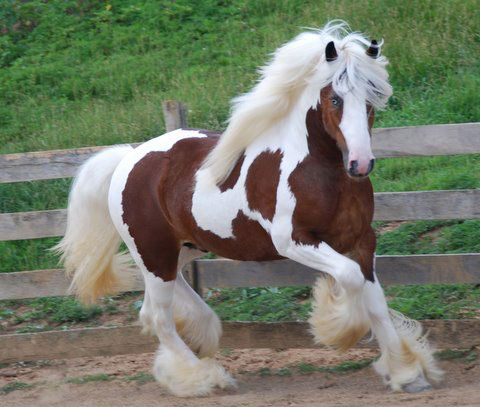 What are some tips for finding gypsy horses for adoption?