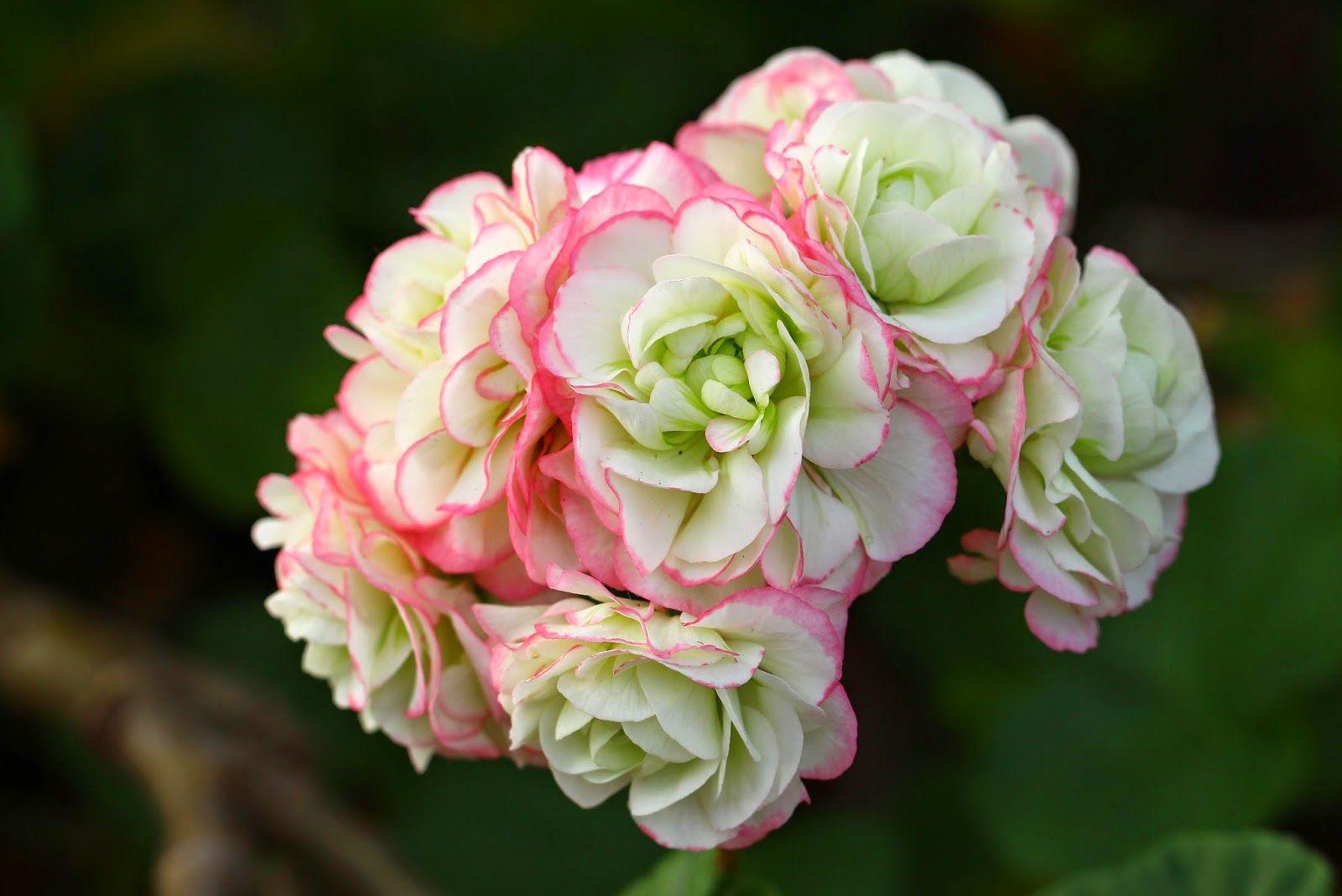 Ruusunmekko