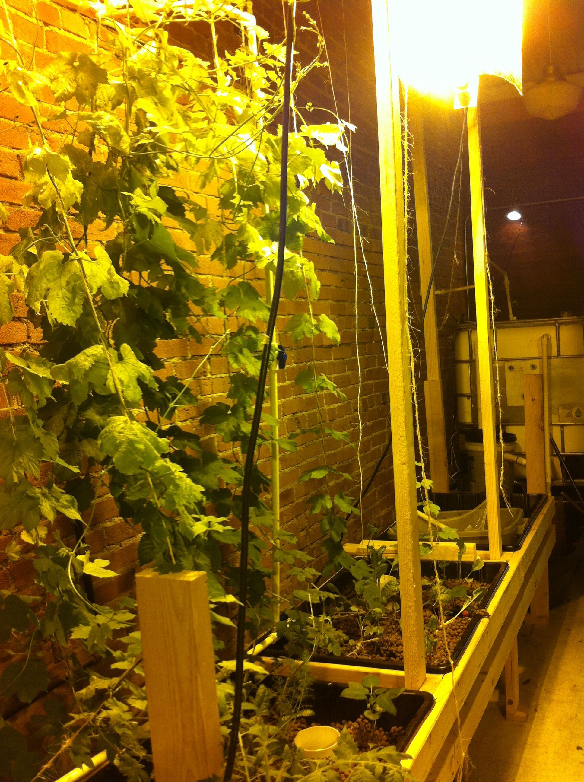 Growing hops for a micro brew indoors with aquaponics
