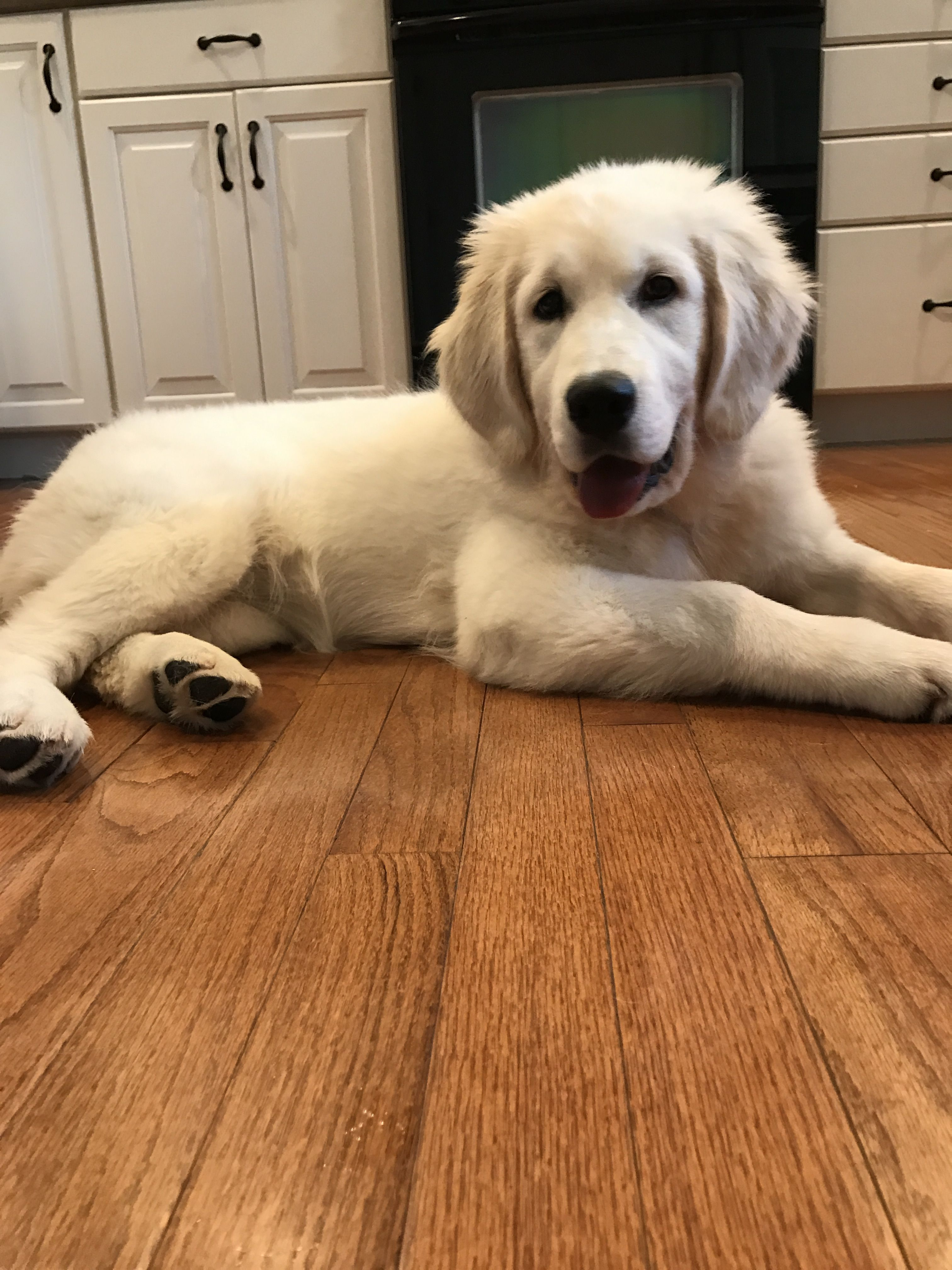 Pin by Signature Gold Goldens English on AKC English Cream