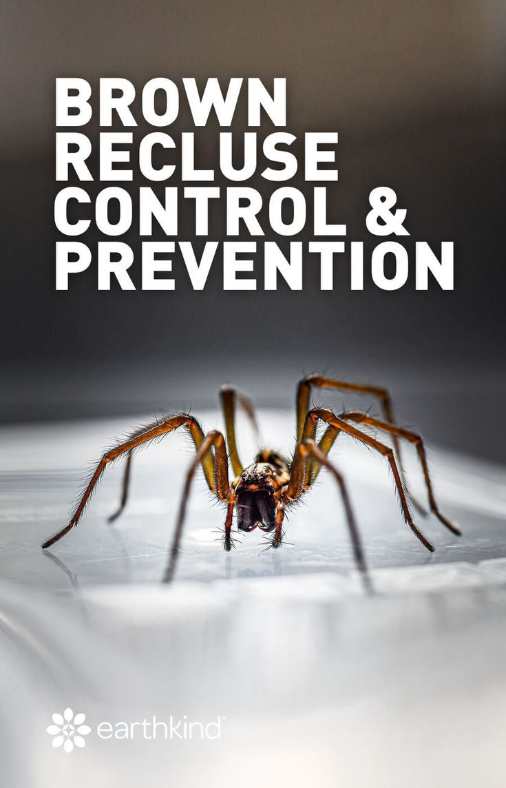 Brown recluse control and prevention earthkind brown
