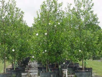 @Coleen Markey Bivins, Loblolly Bay- seems like a good tree for privacy from what I have read so far