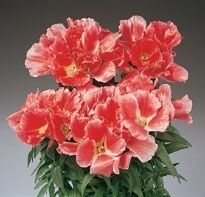 Coral Godetia Wholesale Flowers Diy Wedding Flowers Wholesale Fresh Flowers
