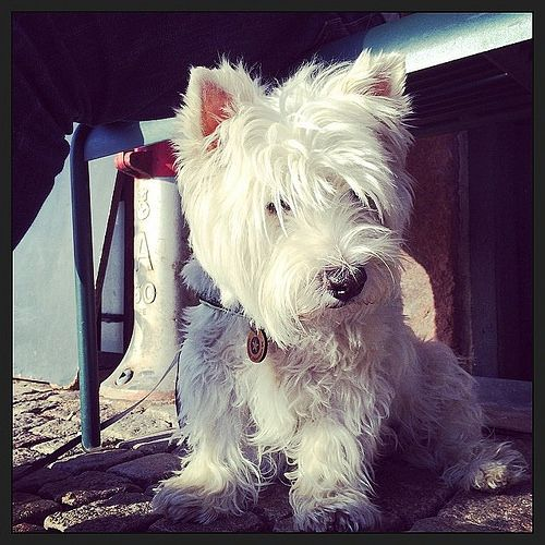 Let's be candid. All Things Westie! Westies, Dogs