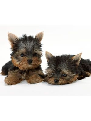 One Minute Stress Busters Yorkie Puppy Yorkshire Terrier Dog