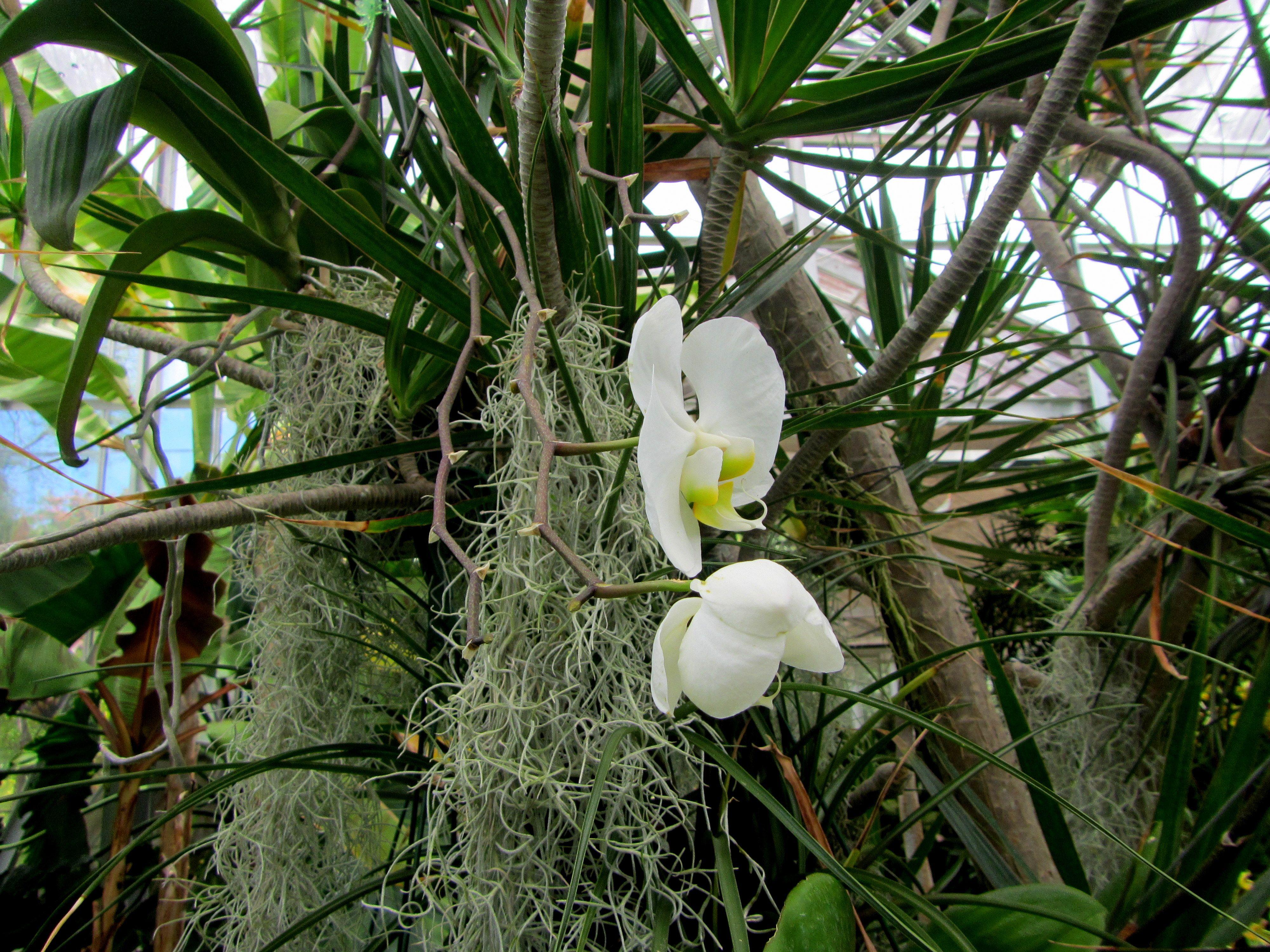 Storczyki, Foster Botanical Garden, Honolulu