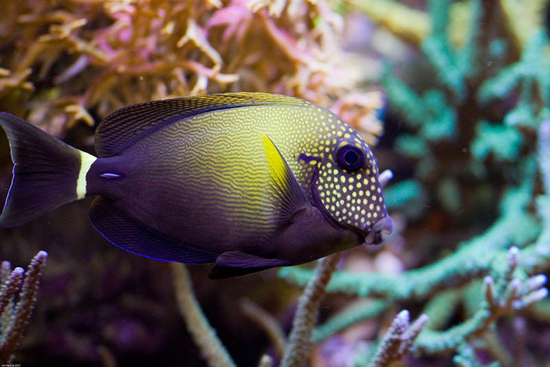 Stoked Got A Spotted Cheek Tang Saltwater Fish Tanks Salt Water Fishing Salt Water Fish