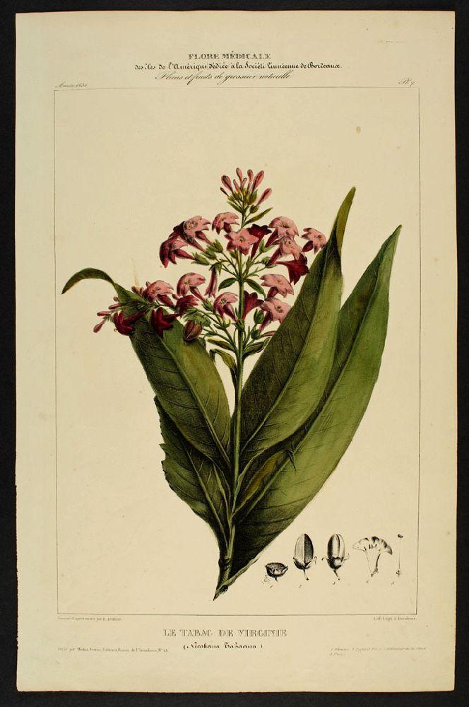 """La Franchipane Cette planche est extraite de l'ouvrage intitulé """"Flore générale d'Amérique"""" ou """"Flore d'Amérique"""" dessinée d'après nature par Etienne Denisse. 1835"""