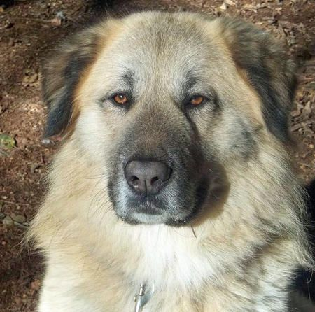 Manny The Anatolian Shepherd Best Friends Pets Anatolian Shepherd Dog Dogs