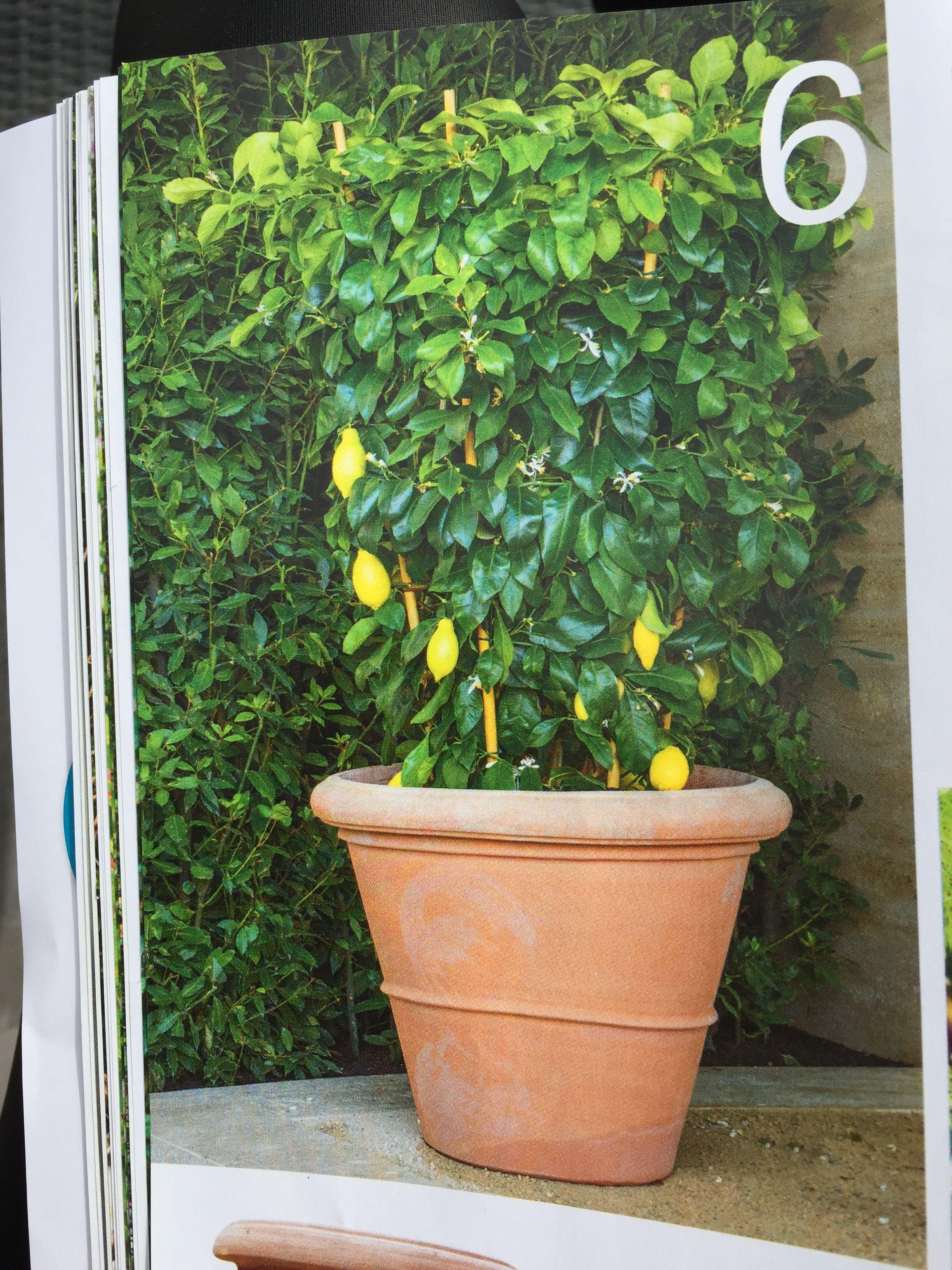 Mooie citroenplant tegen de muggen tegen steekmuggen for Vliegen in de tuin