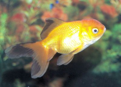 Gold Fish Oranda Goldfish Goldfish Goldfish Aquarium