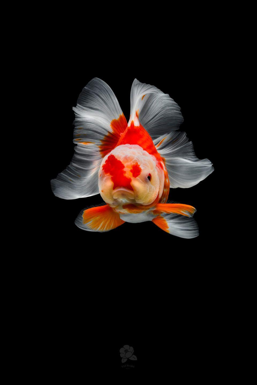 Richly Hued Portraits Of Elegant Chinese Goldfish By Tsubaki 美しい魚 金魚 魚