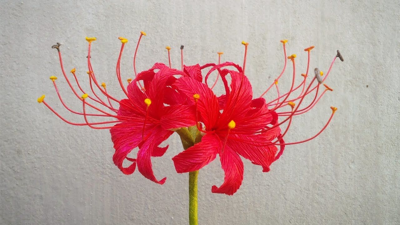 Abc tv how to make red spider lily paper flowers from crepe paper abc tv how to make red spider lily paper flowers from crepe paper cr izmirmasajfo