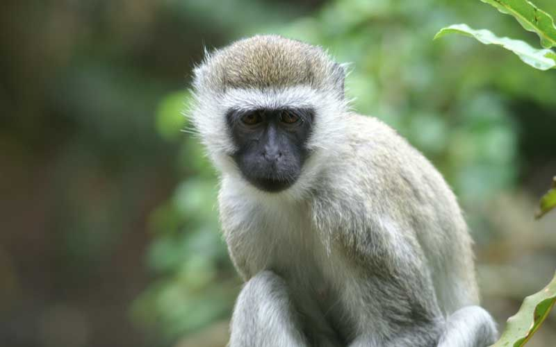 5 Amazing Animals That Start With The Letter V Monkey Species Monkey Types Monkey Breeds